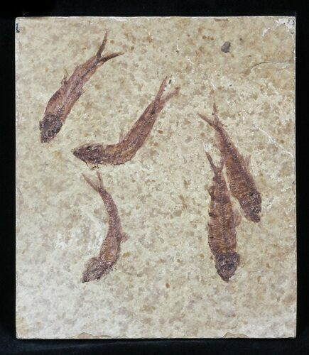 Fossil Fish (Knightia) Multiple Plate - Wyoming