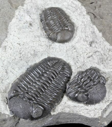 Nice Eldredgeops (Phacops) Trilobites Multiple - New York
