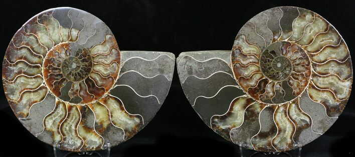 "7.6"" Cut & Polished Ammonite Fossil - Agatized"