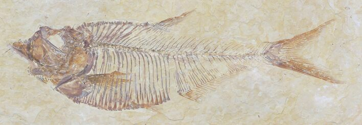 "3.4"" Diplomystus Fossil Fish - Wyoming"