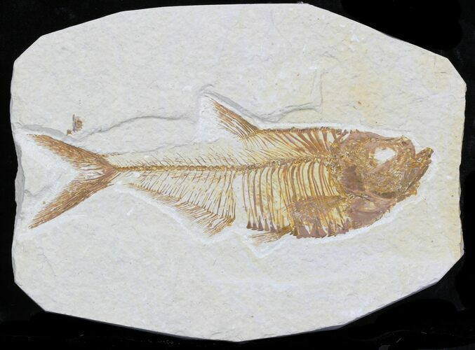 "4.6"" Diplomystus Fossil Fish - Wyoming"