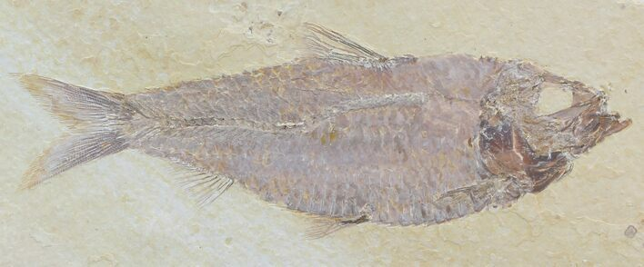"Large, 5"" Knightia Alta Fossil Fish"