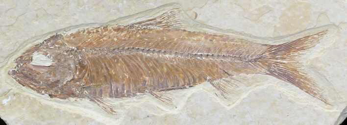 "3.4"" Knightia  Fossil Fish"