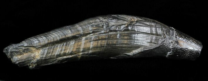 "4.7"" Fossil Whale Tooth - South Carolina"