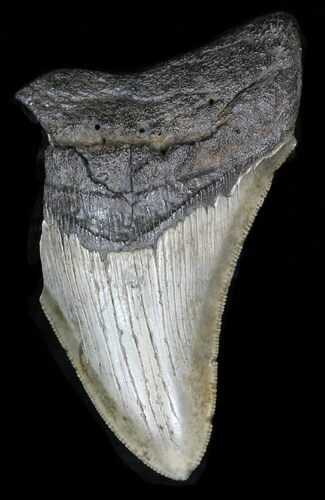 "Partial 3.79"" Megalodon Tooth"