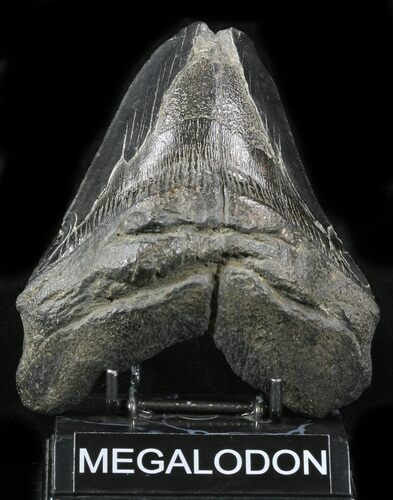 "Bargain 5.47"" Fossil Megalodon Tooth - Large Tooth"