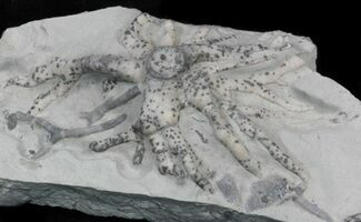 "2.6"" Wide Crinoid (Eucalyptocrinus) Holdfast For Sale, #33935"