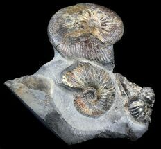 "5.8"" Craspedodiscus Ammonite Cluster - Russia For Sale, #34679"