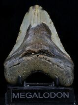 "Bargain 5.03"" Megalodon Tooth - North Carolina For Sale, #34991"