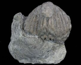 Platystrophia Brachiopod Fossil From Kentucky For Sale, #35120
