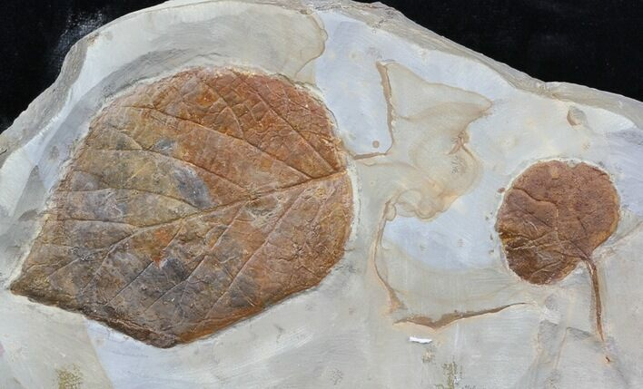Two Fossil Leafs (Beringiaphyllum, Unidentified) - Montana