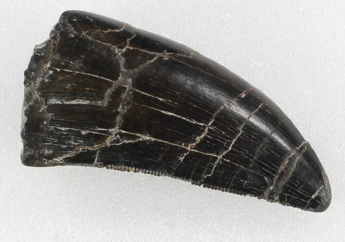 "Serrated, 1.46"" Allosaurus Tooth - Colorado"