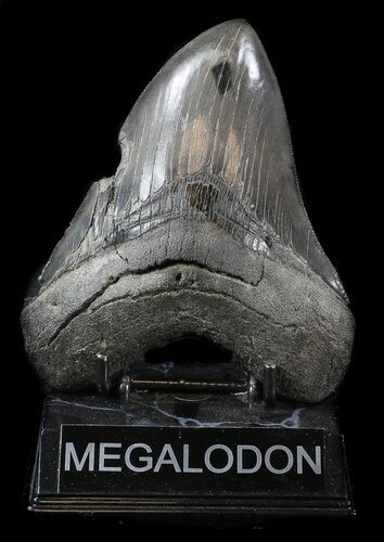 "Bargain, 5.14"" Megalodon Tooth - Sharp Serrations"