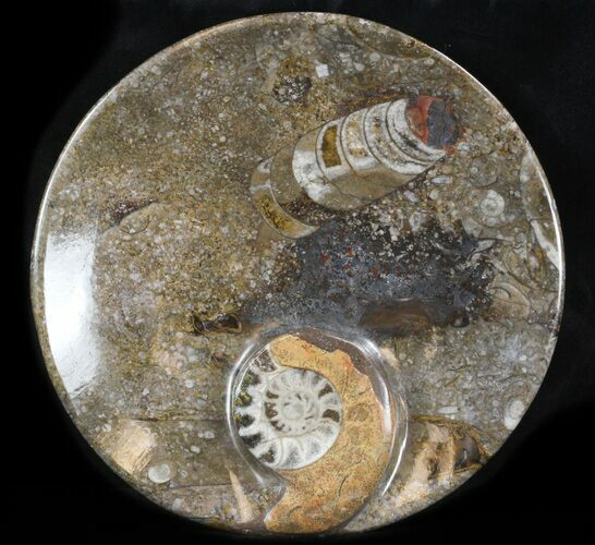 "7"" Fossil Orthoceras & Goniatite Plate - Stoneware"