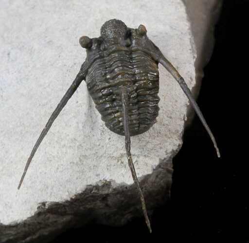 Well Preserved Cyphaspis Eberhardiei Trilobite - 1.2""