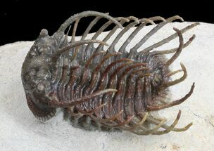 "Exceptional Koneprusia Trilobite - 1.6"" long For Sale, #36590"