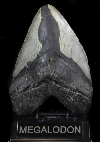 "Bargain, 5.51"" Megalodon Tooth - North Carolina"