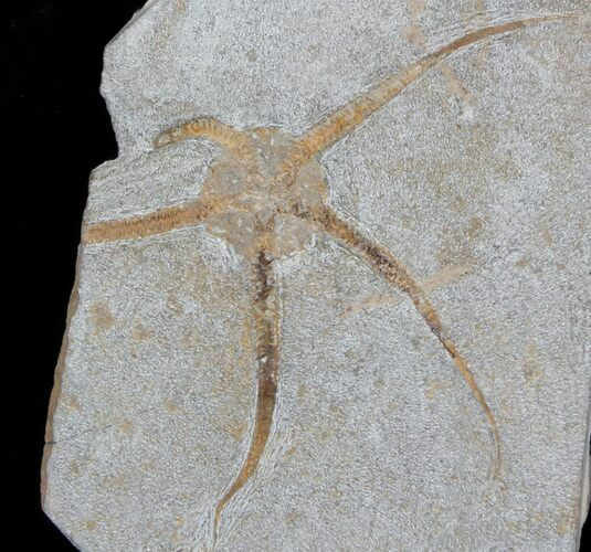 "5.8"" Wide Ophiura Brittle Star Fossil"