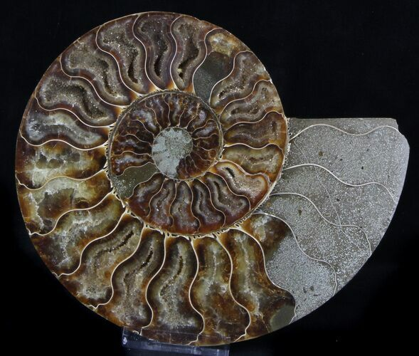 "5.6"" Ammonite Fossil (Half) - 110 Million Years"