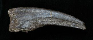 3.3 Inch Struthiomimus Dinosaur Hand Claw For Sale, #1697