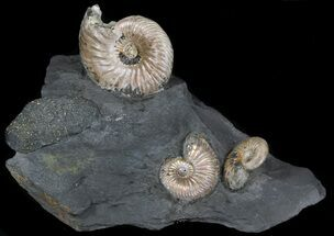 "Iridescent Ammonite Fossils Mounted In Shale - 4.9x3.4"" For Sale, #38108"