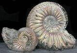 "Iridescent Ammonite Fossils Mounted In Shale - 5.5x2.5"" - #38220-2"