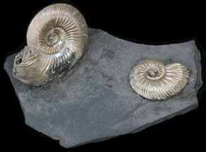 "Iridescent Ammonite Fossils Mounted In Shale - 3.3x2.1"" For Sale, #38225"