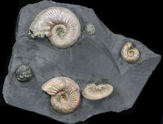 Iridescent Ammonite Fossils Mounted In Shale - 5.4x4.4""