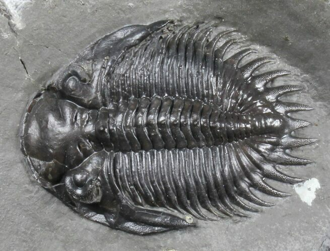 "Huge 1.71"" Greenops Trilobite - Windom Shale, New York"