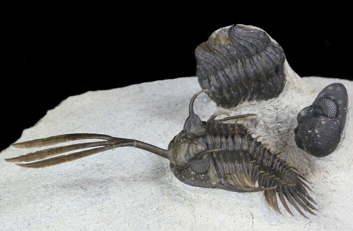 "2.4"" Trident"" Walliserops Trilobite With Barrandeops"
