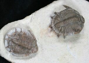 Basseiarges mellishae - Fossils For Sale - #12252