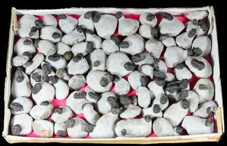 Gerastos granulosus - Fossils For Sale - #39213