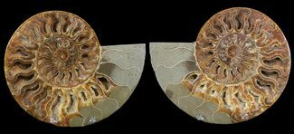 "6.15"" Cut & Polished Ammonite Pair - Agatized For Sale, #39494"