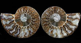 Cleoniceras cleon - Fossils For Sale - #39573