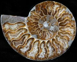 "3.25"" Agatized Ammonite Fossil (Half)  For Sale, #39614"