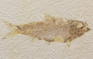 "Bargain 4.6"" Knightia Fossil Fish - Wyoming For Sale, #39674"