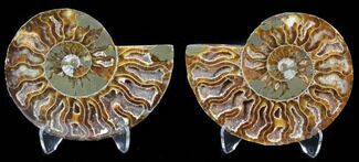 Cleoniceras cleon - Fossils For Sale - #39603