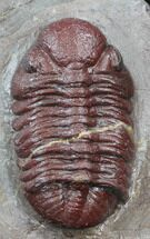 "1.54"" Red Barrandeops Trilobite - Hmar Laghdad, Morocco For Sale, #39845"