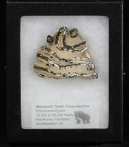 Mammuthus columbi - Fossils For Sale - #40098
