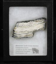 Mammuthus columbi - Fossils For Sale - #40107