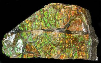 "Buy 3.5"" Brilliant Iridescent Ammolite - Fossil Ammonite Shell - #40165"