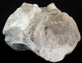 "6"" Fossil Whale Vertebrae - Yorktown Formation For Sale, #40307"