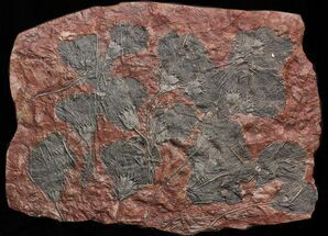 "Buy 40"" Scyphocrinites Crinoid Plate - Museum Quality Display - #40477"