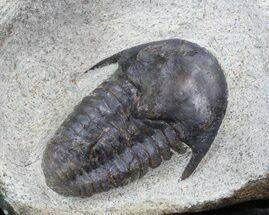 "1.3"" Rare Kingaspidoides Trilobite For Sale, #40592"