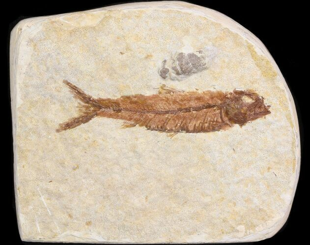 "Small 2"" Knightia Fossil Fish - Wyoming"