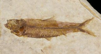 "Buy Small 1.7"" Knightia Fossil Fish - Wyoming - #41038"