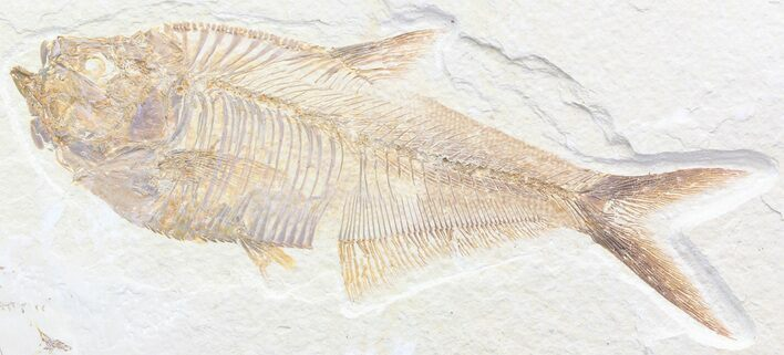 "Detailed, 6.1"" Diplomystus Fossil Fish - Wyoming"