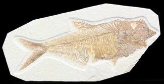 "Detailed, 6.1"" Diplomystus Fossil Fish - Wyoming For Sale, #41048"