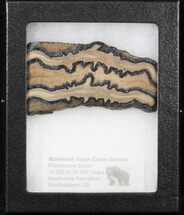 "Buy 3.7"" Mammoth Molar Slice - South Carolina - #40966"