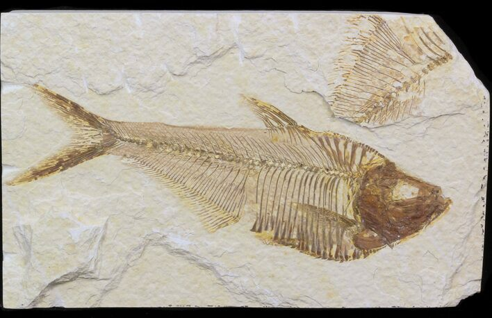 "Bargain 4.8"" Diplomystus Fossil Fish - Wyoming"